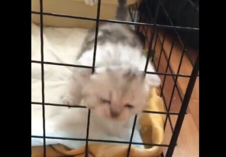【爆笑】ちっさすぎてゲージから出てきちゃう子猫!めちゃ可愛いw
