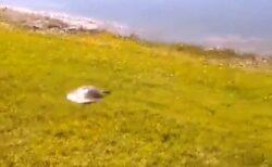 【えっ!?】カメの猛スピード、かなり速い!!