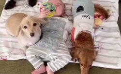 【動画】赤ちゃんが泣くと心配して集まってくる犬達が話題にw