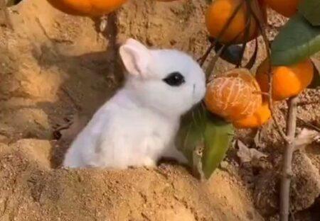 【!】ドイツの小さいウサギ「ドワーフホト」メイクした様な容姿が可愛いすぎる