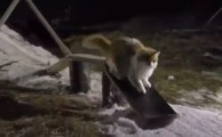 【動画】スノボーを巧みに乗りこなす猫が話題に「すっごい」「天才猫!」
