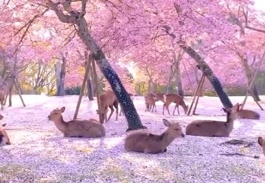 【動画】「桜の季節の奈良公園」息をのむほど美しい桜と鹿の光景が話題に