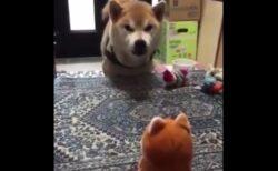 【動画】真顔でおもちゃと会話する犬が話題に「おもちゃに押され気味w」