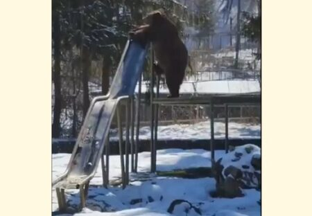 【・(ェ)・】楽しそうにすべり台で遊ぶクマが話題に「おしりカワイイw」