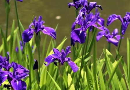 【倍速ではない】カキツバタの開花の瞬間!ぱっと開く様子が美しすぎる