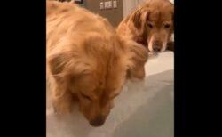 【ブクブク】水に顔を突っ込んで遊ぶ犬と怪訝そうに見守る犬、可愛いすぎる2匹が話題