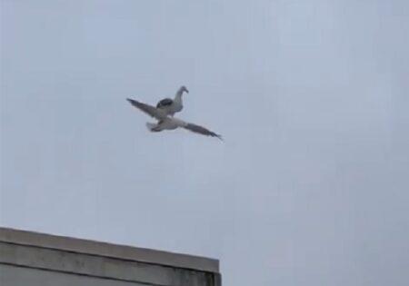 【レア】空を飛行中の鳥の背中に乗り、休憩する鳥が激写される!