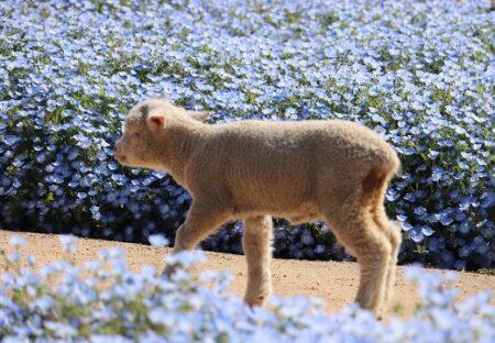 【画像たくさん】青い花畑を気ままに散歩するヒツジがたまらなく可愛いw