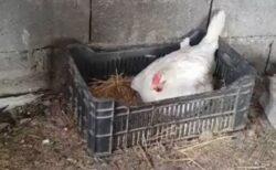 【衝撃映像】じっと動かない鶏、卵かな?→腹の下に子猫が3匹w