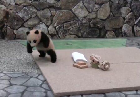 【ぴょこぴょこ】無邪気に遊ぶ小パンダ、可愛いすぎる動きが話題にw