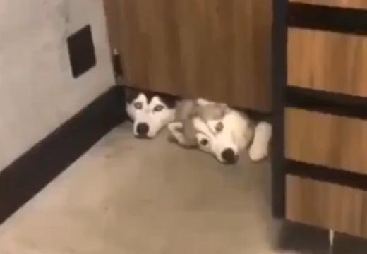 【w】ドアの隙間からこちらを凝視する2匹の犬が話題に「入れてあげたいw」
