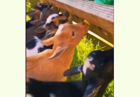 【しっぽ】ミルクを飲む子ヤギ集団、たまらなく可愛い尻尾が話題にw