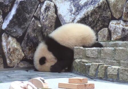 【もぞもぞ】段差がなかなか降りられない赤ちゃんパンダが話題に「可愛いすぎるw」