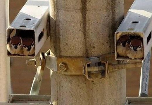 【みっちり】監視カメラに2匹づつ入りこちらを凝視するスズメ達が話題にw