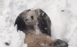 【w】大喜びで雪遊びするパンダが話題に「人が入ってるみたいw」