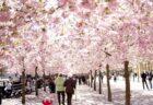 【画像】桜前線がスウェーデンに到着。日本が国王に寄贈した八重桜、見事な満開に