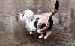 【ご機嫌】カッパ姿で嬉しそうに散歩する三毛猫が話題に「可愛いすぎw」
