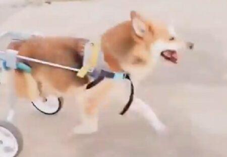 【泣いた】後ろ脚が動かない犬、補助器具つけてもらい嬉しそうに駆け回る姿が話題に