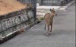 【ピョコンピョコン】住宅街を軽やかに跳ね回るバンビがものすごくカワイイw