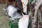 【w】馬のごはんに寄ってくるヤギ達と、やさしく怒る馬とめげないヤギ。素敵すぎる牧場が話題に