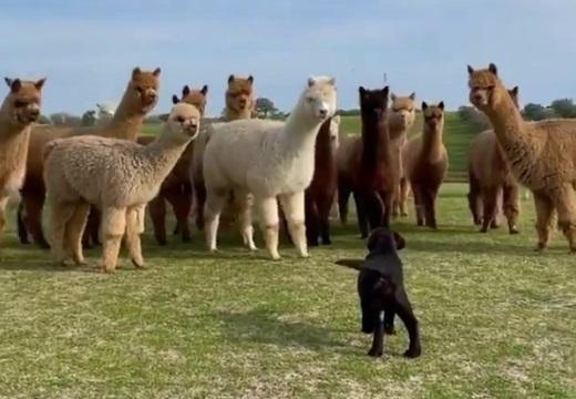 【w】初めて牧場犬に出会ったアルパカ達の反応が話題に「アルパカ足はやっ!」
