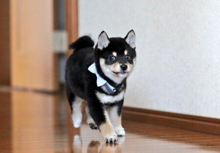 【子犬】こっちに全力で駆け寄ってくる柴犬の動画、めちゃくちゃ可愛いw