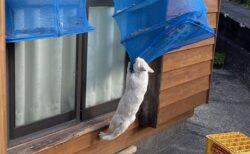 【必死w】猫さん、干してある干物に届いたところを発見されるw