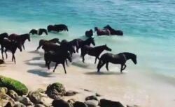 【動画】ビーチでくつろぐ引退した競争馬達、美しい光景が話題に