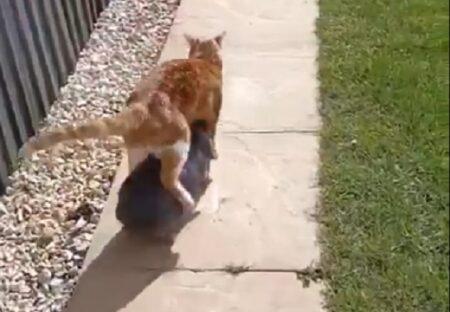 【w】猫が好きすぎて体の下に潜りたいうさぎと、歩きにくくても怒らない猫が話題に