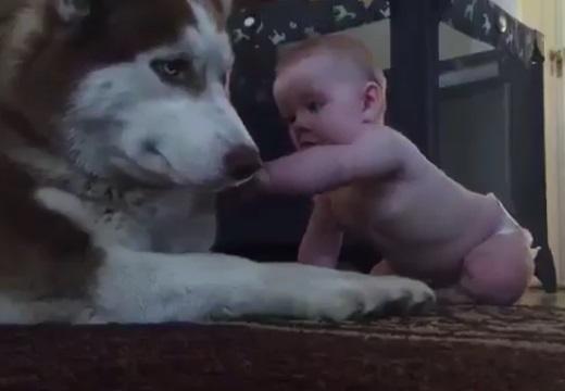 【224万回再生】自分を触りたそうにしてる赤ちゃんにハスキー犬がとった行動が話題に