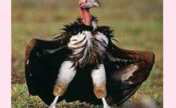 【猛禽類】羽根のコートで隠されたハゲワシの脚、想像以上にセクシーだったw