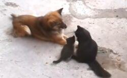 【動画】自分の子猫達を友達の犬に紹介する猫。4匹の様子がたまらなく可愛いw