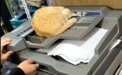 【すや~】コンビニのコピー機で暖まる猫、全く動じない様子が話題にw