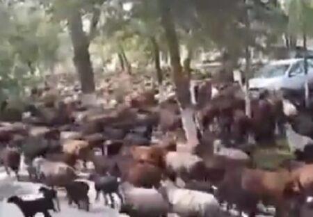 【どとうのひつじ】牧民、大量の羊を連れ放牧地を減らす決定をした市長のオフィスを突撃!