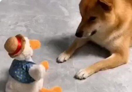 【w】喋りながら動くアヒルのおもちゃにムキになる犬が話題に「漫才みたいw」