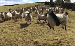 【爆笑】タイヤにはまり浮遊する羊と、ドン引きしてる羊達。可愛すぎw