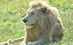 【手にキス】氷河期から存在する白ライオン。出会った犬への挨拶までイケメンすぎる