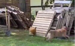 【動画】追いかけっこで遊ぶ犬とにわとりが話題「ずっと見てるw」「にわとり速っ!」