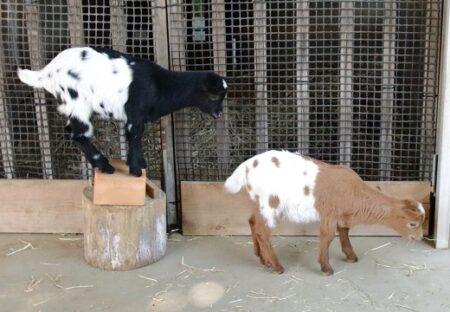 【!】柄が同じで色違い!かわいいヤギの兄弟が話題に「帽子もおそろいw」