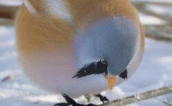 【!】可愛いすぎるまん丸な鳥が話題に「飛べるの?!」「初めて見たw」