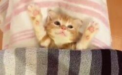 【w】ばんざーいのポーズで布団かけてもらう子猫が話題に「表情が笑ってるw」