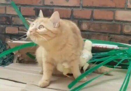 【泣いた】たくさんのヒヨコを腹の下に押し込み必死で守る猫が話題に
