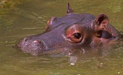 【水辺最強の哺乳類】カバがバタフライで追いかけてくる動画が衝撃的な恐さ!