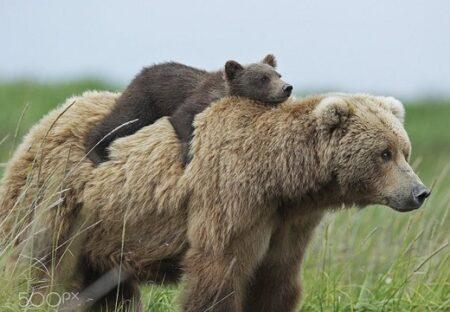【・(ェ)・】親の背中に乗る子熊、可愛いすぎる4枚の写真が話題にw
