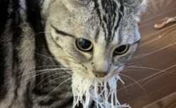 【爆笑】「つま」をぱくっと咥えた猫の顔が話題に「ヒゲ生えたかと思った!」