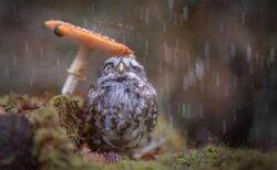 【w】フクロウ、きのこで雨宿りする様子が激写され話題に「トトロだw」