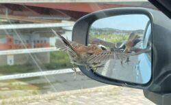 【w】サイドミラーに映る自分を敵と勘違いし攻撃する鳥が話題に「かわいい!」
