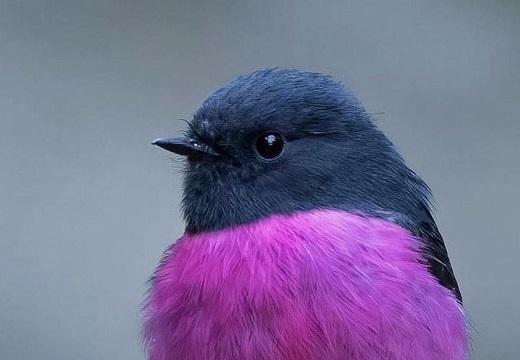 【ピンクロビン】オーストラリアにいるめちゃくちゃ可愛い鳥が話題に(・∀・)