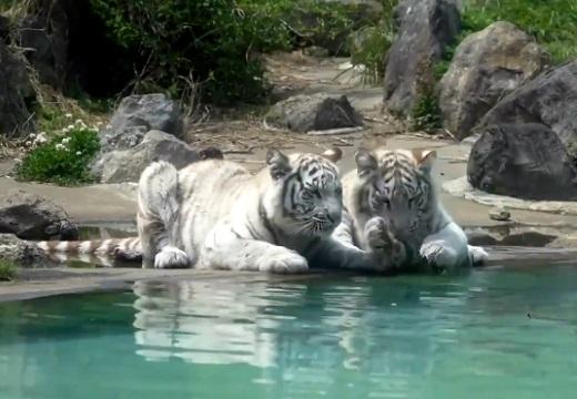 【子トラ】お気に入りの枝が水に!ホワイトタイガーの姉妹がカワイイすぎるw