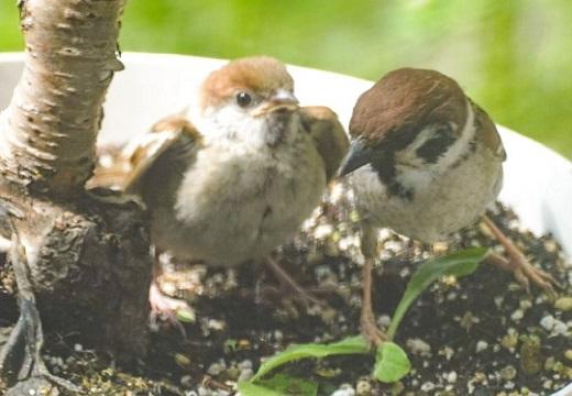 【感動】半年間スズメの世話をしていたら‥産まれた雛を見せに来た!